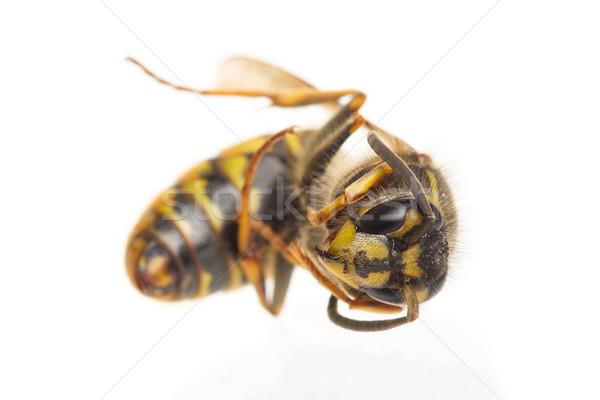 Macro dode wesp geïsoleerd witte selectieve aandacht Stockfoto © michaklootwijk