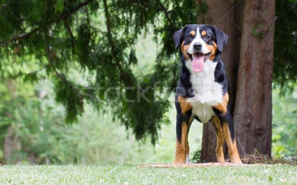 Espera patrão jogar jovem cão feliz Foto stock © michaklootwijk