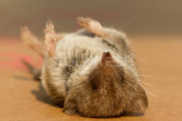 ölü fare kurban gıda doğa çalışma Stok fotoğraf © michaklootwijk