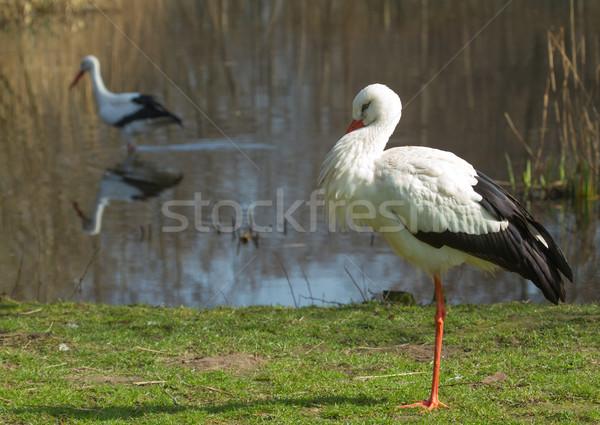 A stork in its natural habitat Stock photo © michaklootwijk