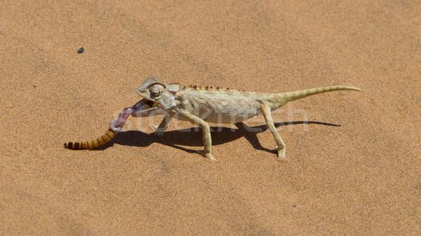 Namaqua Chameleon hunting in the Namib desert Stock photo © michaklootwijk