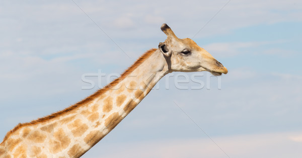 Giraffe in Etosha, Namibia Stock photo © michaklootwijk