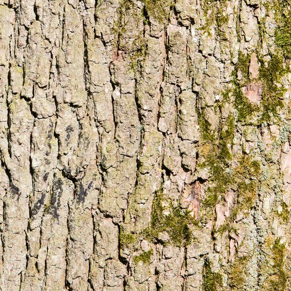 Foto stock: Enorme · carvalho · casca · madeira · floresta