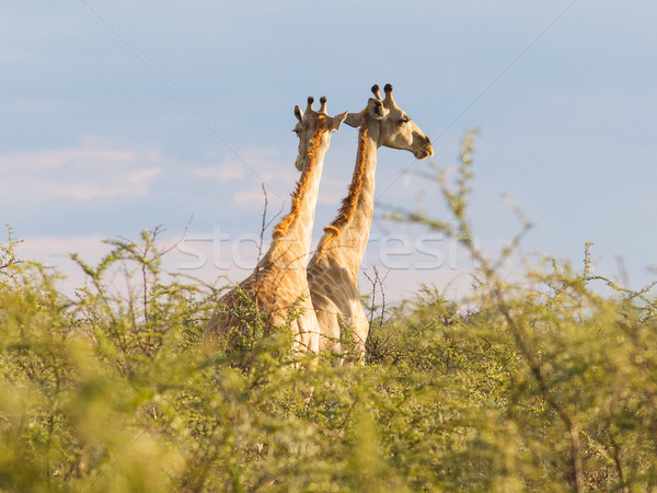 Giraffes in Etosha, Namibia Stock photo © michaklootwijk