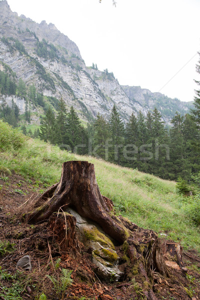 Deforestation concept with a tree stump in a green forest Stock photo © michaklootwijk
