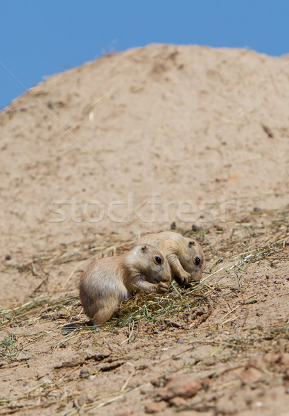 Two young black-tailed prairie marmot (Cynomys Ludovicianus) Stock photo © michaklootwijk