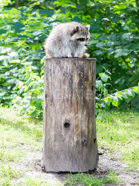 Adult racoon on a tree Stock photo © michaklootwijk