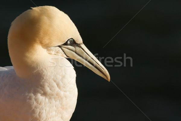 A gannet Stock photo © michaklootwijk