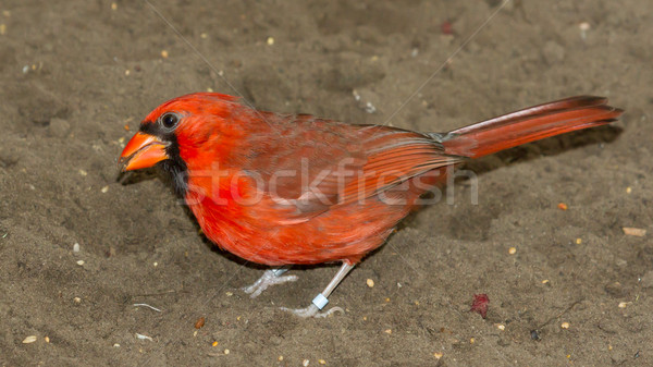 Stock photo: Northern Cardinal in captivity