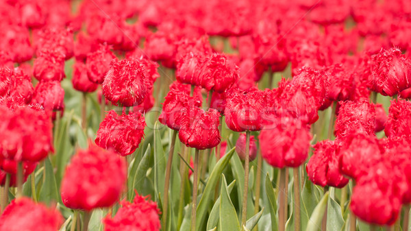 Tulipe domaine agricole terres rouge tulipes Photo stock © michaklootwijk
