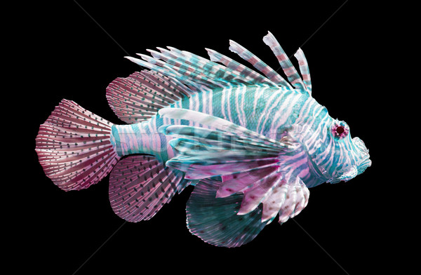 Stock photo: Pterois volitans, Lionfish - Isolated on black