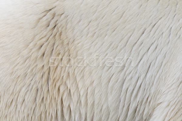 Close-up of a polarbear Stock photo © michaklootwijk