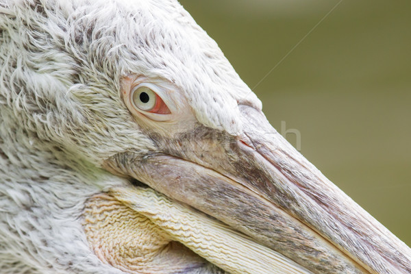 Portrait of a Dalmatian Pelican Stock photo © michaklootwijk