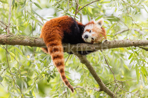 Red Panda, Firefox or Lesser Panda  Stock photo © michaklootwijk