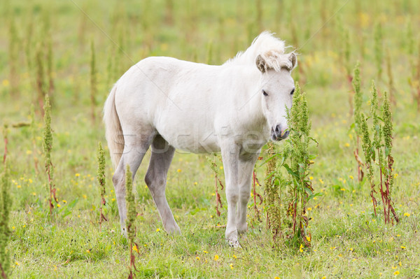 White Icelandic pony Stock photo © michaklootwijk