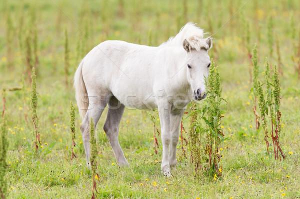 Fehér póni pózol kamera ló haj Stock fotó © michaklootwijk