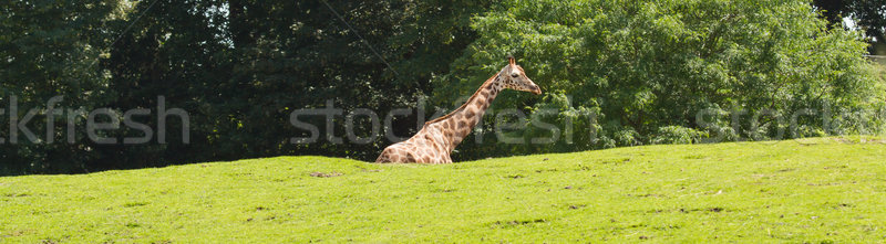 A giraffe in a dutch zoo  Stock photo © michaklootwijk