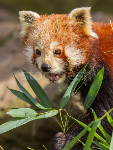 красный Panda дерево природы лист черный Сток-фото © michaklootwijk
