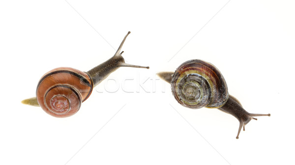 Two garden snails (Helix aspersa) Stock photo © michaklootwijk