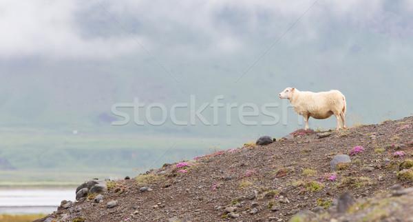 Ovelha típico montanha pedra animais feminino Foto stock © michaklootwijk