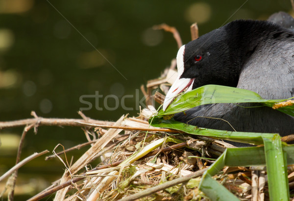A common coot  Stock photo © michaklootwijk