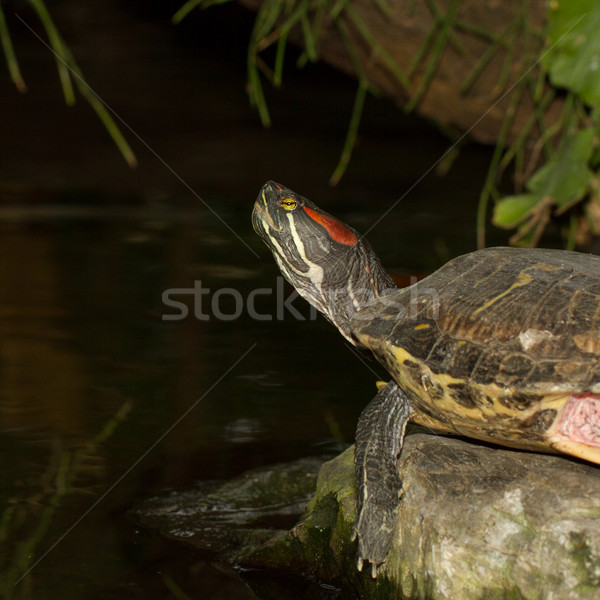 A European pond terrapin Stock photo © michaklootwijk