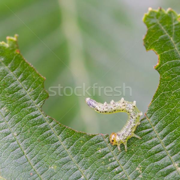 Klein rups eten groen blad natuurlijke blad Stockfoto © michaklootwijk