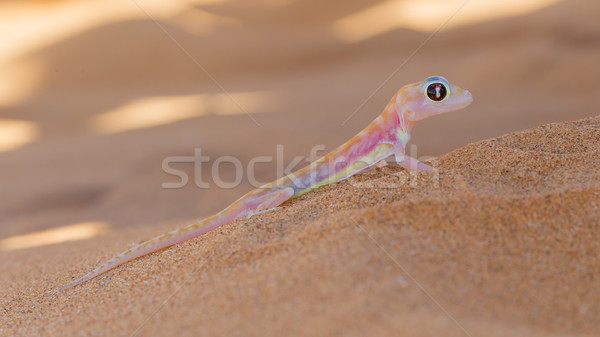 Palmatogecko (Pachydactylus rangei), also known as Web-footed Ge Stock photo © michaklootwijk