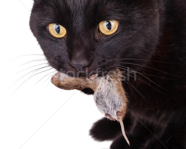 Foto stock: Gato · preto · morto · mouse · cara