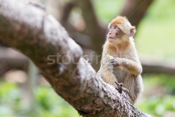 Barbary Macaque (Macaca sylvanus) Stock photo © michaklootwijk