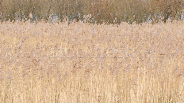Reed bed Stock photo © michaklootwijk