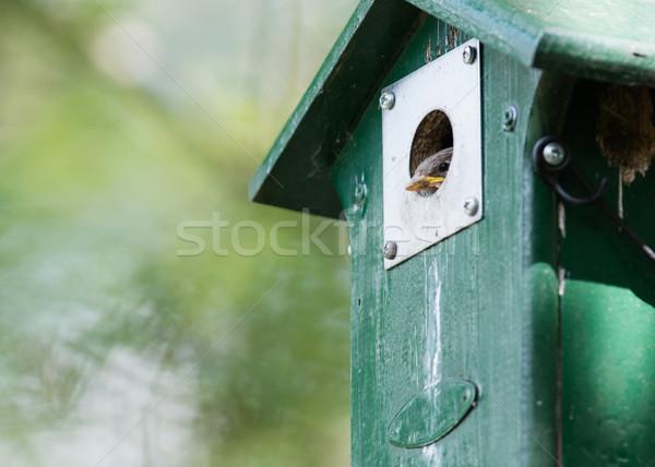 Młodych wróbel posiedzenia zielone domu drzewo Zdjęcia stock © michaklootwijk