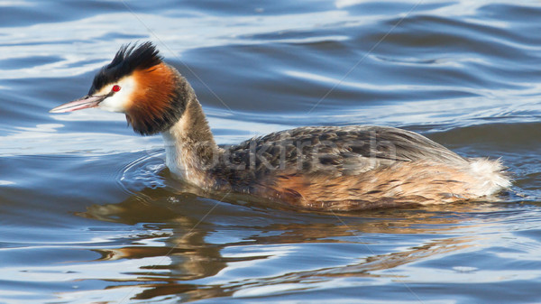 Great crested grebe Stock photo © michaklootwijk