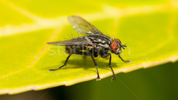 Common house fly Stock photo © michaklootwijk