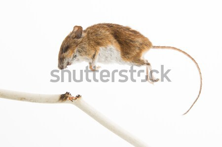 Dead mouse isolated Stock photo © michaklootwijk