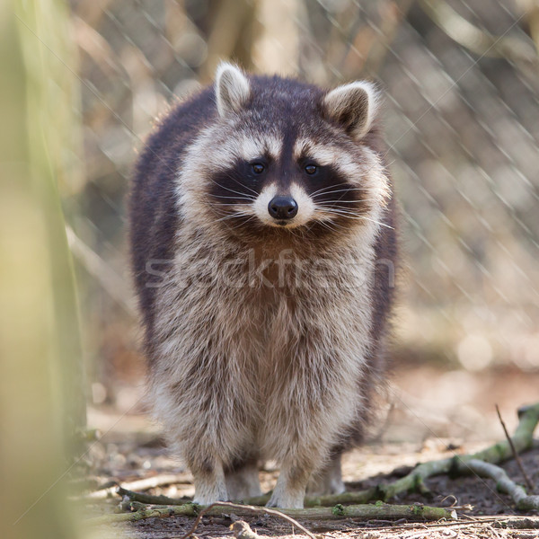 Stock photo: Curious racoon in captivity