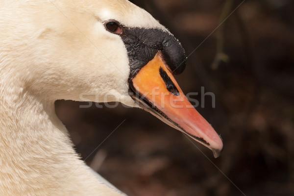 クローズアップ 白鳥 暗い 草 庭園 美 ストックフォト © michaklootwijk
