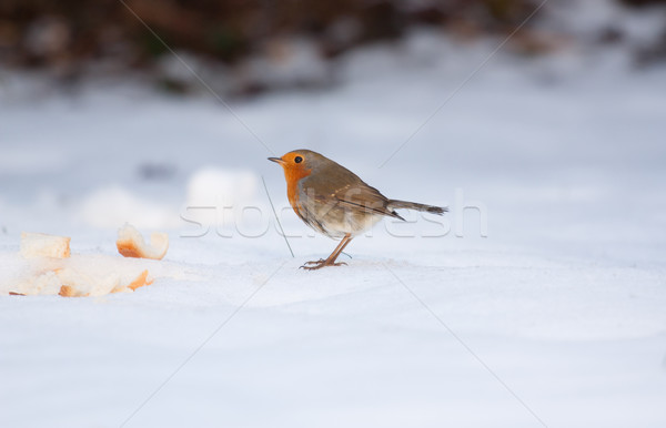 Robin on frozen snow  Stock photo © michaklootwijk