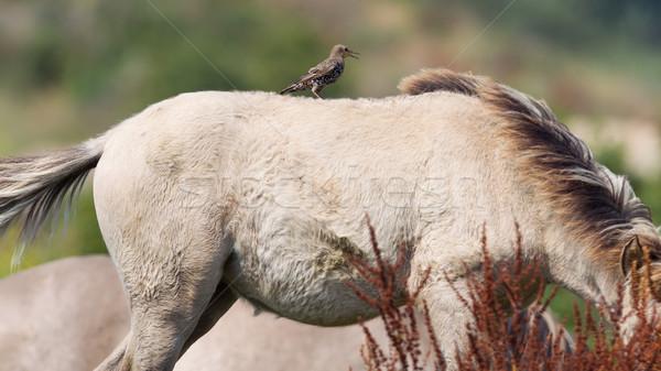 Bird sitting on Konik horse Stock photo © michaklootwijk