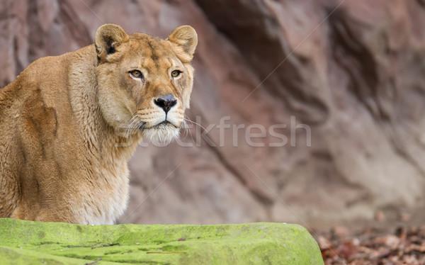 Lion on alert Stock photo © michaklootwijk