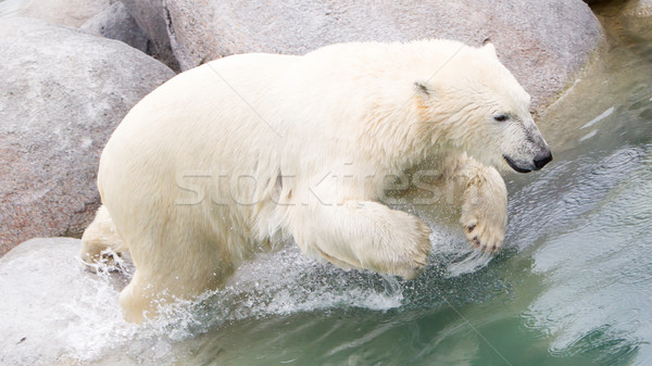 Close-up of a polarbear (icebear) jumping in the water Stock photo © michaklootwijk