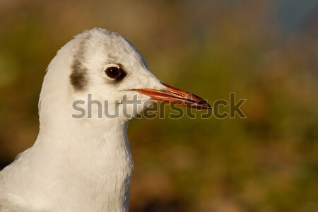 A black-headed gull Stock photo © michaklootwijk