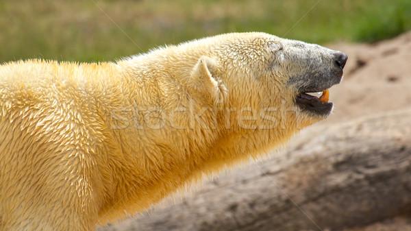 Close-up of a polarbear (icebear)  Stock photo © michaklootwijk
