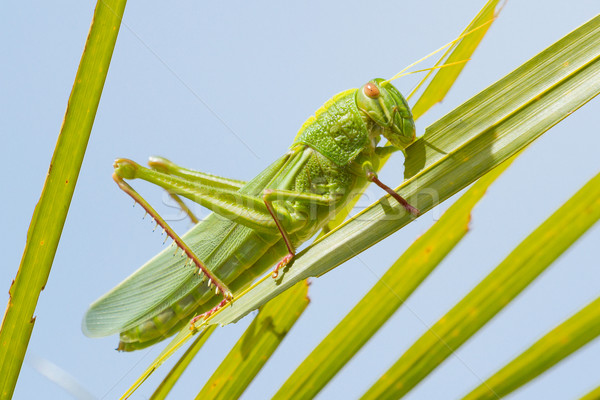 Large grasshopper, eating grass Stock photo © michaklootwijk