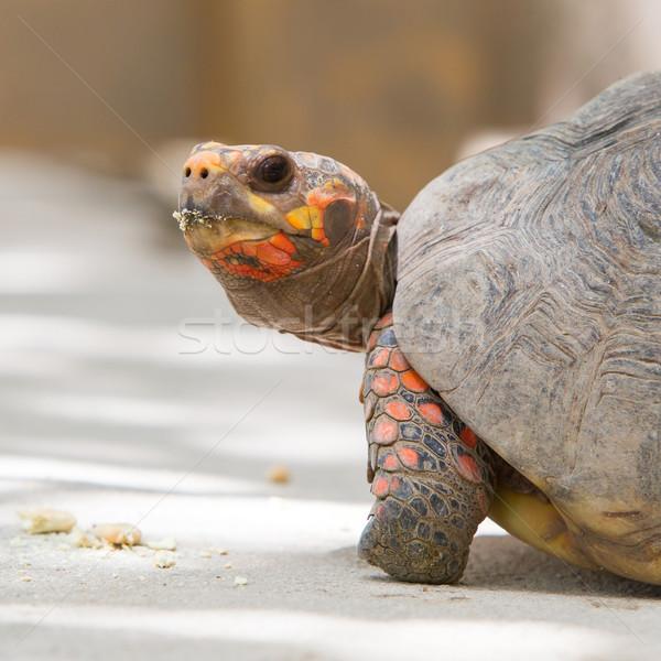 Вишневое голову красный ногу черепаха фон Сток-фото © michaklootwijk