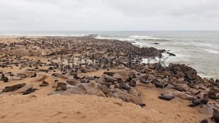 Cape fur seal (Arctocephalus pusillus) Stock photo © michaklootwijk