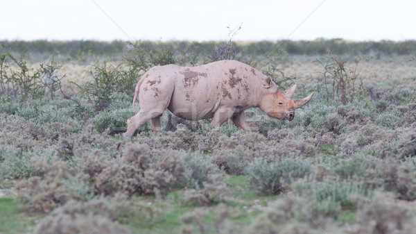 Black (hooked-lipped) rhinoceros (Diceros bicornis) Stock photo © michaklootwijk
