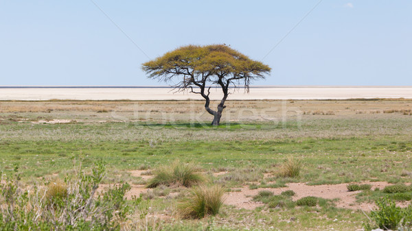 Stock photo: Tree in open field, Namibia