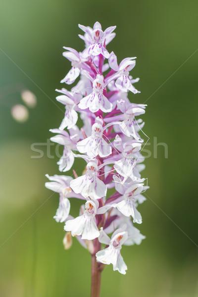 Selvatico orchidea estate sole foresta natura Foto d'archivio © michaklootwijk