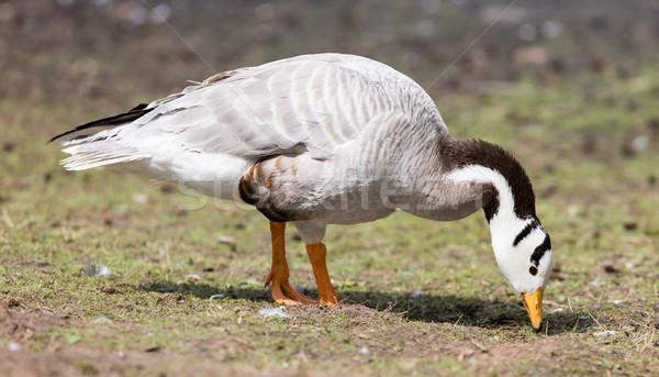 Bar-headed goose (Anser indicus)  Stock photo © michaklootwijk